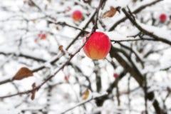 Rött äpple på en filial i snön Arkivbilder