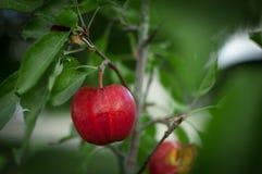 Rött äpple på en närbildfilial Royaltyfri Foto