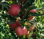 Rött äpple på grön trädfilial Arkivbild