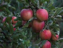 Rött äpple på grön trädfilial Fotografering för Bildbyråer