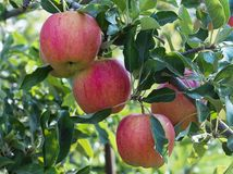 Rött äpple på grön trädfilial Royaltyfri Fotografi