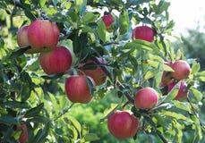 Rött äpple på grön trädfilial Arkivfoto
