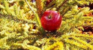 Rött äpple på granträdet Royaltyfri Fotografi
