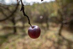 Rött äpple på trädet i hösten arkivbilder