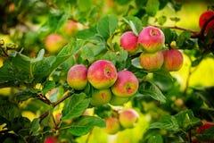 Rött äpple som mycket växer på träd i trädgården fotografering för bildbyråer