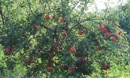 Rött äppleträd på grön bakgrund Fotografering för Bildbyråer