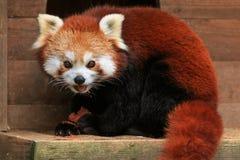 Rött äta för panda Royaltyfri Fotografi