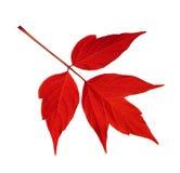 Rött acernegundoblad som isoleras på vit Arkivfoton