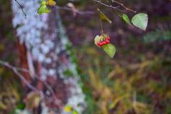 Rött ashberry på en filial Arkivfoton
