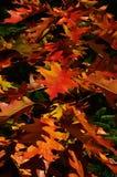 Rött att gulna lövverk av den norhern röda ekQuercusrubraen under nedgångsäsong arkivfoto