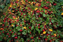 Rött bär Fotografering för Bildbyråer