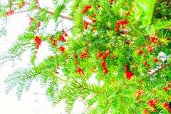 Rött bär för jul Arkivbild