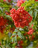 Rött bär som är ashberry på ett träd i en sommarträdgård Arkivfoto