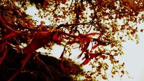 Rött band som slås in runt om filialer, frodigt ginkgoträd i bris, stam, skog, trän lager videofilmer