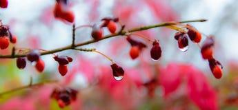 Rött berried med regndroppe i nedgång på en röd buske Royaltyfria Foton