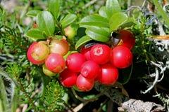 Rött blåbär; vacciniumvitis-idaea Arkivfoto