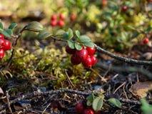 Rött blåbärlingon på busken Arkivfoto