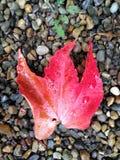 Rött blad Royaltyfri Bild
