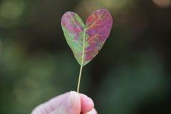 Rött blad av smoketreen i formen av en hjärta Arkivbilder