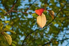 Rött blad för höst Isolerat på vit bakgrund arkivfoton