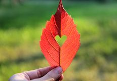 Rött blad för höst med klippt hjärta i en hand Royaltyfria Bilder
