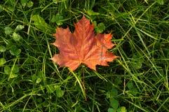 Rött blad för lönn Royaltyfri Foto