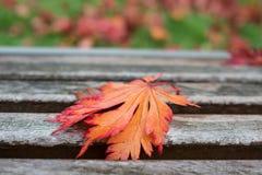 Rött blad för träd för japansk lönn Arkivbild