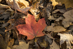 Rött blad i mitt av bruna sidor royaltyfria foton