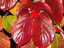 Rött blad med bär arkivfoton