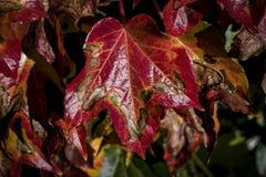 Rött blad med mörka blomningar Royaltyfria Bilder