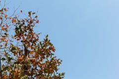 Rött blad på blå himmel Arkivfoto