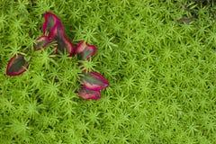 Rött blad på grönt gräs Arkivbild