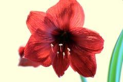 Rött blomma för amaryllis Royaltyfria Bilder