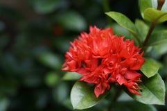 Rött blomma för Ixora blomma Royaltyfria Bilder