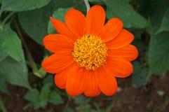 Rött blomma för solros Arkivbild