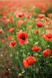 Rött blommande fält för vallmo på våren royaltyfria foton