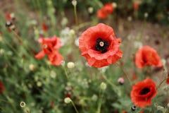 Rött blommande fält för vallmo på våren arkivfoto