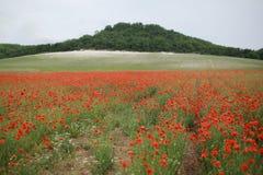 Rött blommande fält för vallmo på våren royaltyfri foto