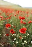 Rött blommande fält för vallmo på våren royaltyfri fotografi
