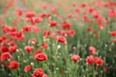 Rött blommande suddigt fält för vallmo på våren arkivfoton