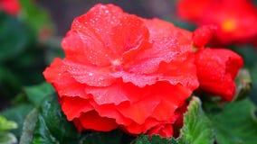 Rött blommaregn tappar dagljus lager videofilmer