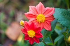 Rött blommaslut upp i natur Stäng sig upp av den kinesiska hibiskusblomman i röd färg med suddig naturbakgrund royaltyfria foton