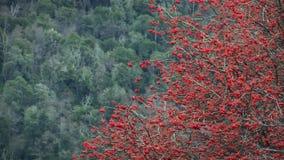 Rött blommaträd i bergen stock video