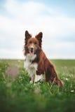 Rött border collie hundsammanträde i en äng Royaltyfri Fotografi