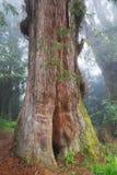 Rött cypressträd Royaltyfria Bilder