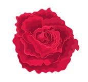 Rött enkelt för rosor Royaltyfria Bilder