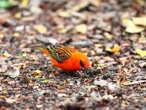 Rött fody, lat Foudia rubra, infödd fågel till Mauritius Royaltyfri Bild