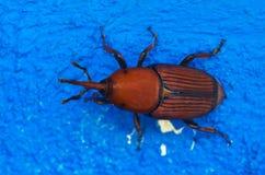 Rött gömma i handflatan vivelöverblicken över blått - den Rhynchophorus ferrugineusen Arkivbilder