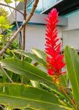 Rött Ginger Scientific namn: Zingiberofficinale Roscoe fotografering för bildbyråer