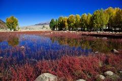 Rött gräs Arkivbilder